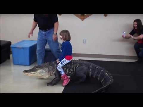 alligator sex personals How do crocodiles have sex animals - momme retrieved from how long does a mother alligator care for her young after they.